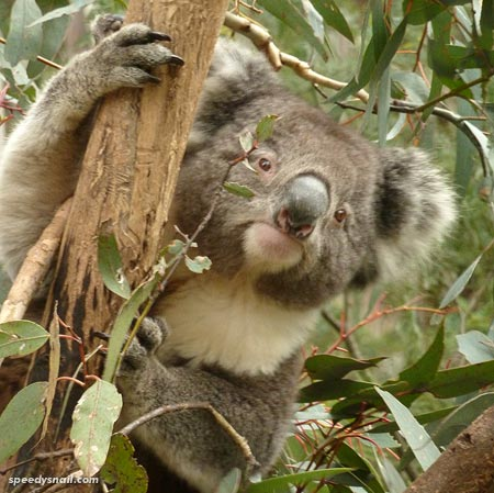 Koala at Tidbinbilla Nature Reserve, ACT, 7 July 2015.