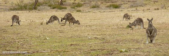 Tidbinbilla kangaroos, ACT, July 2015